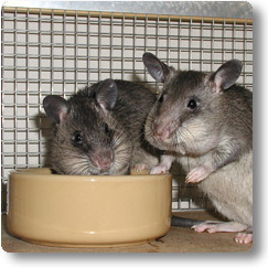 Two young Pouched Rats at thier food bowl