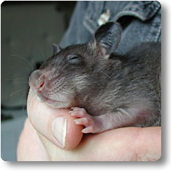sleeping baby rat