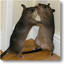 Two yong pouched rats sizing up to each other