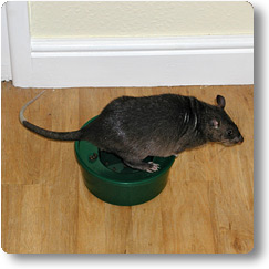 Pouched Rat using a potty