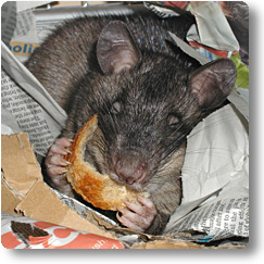 Pouched rat in nest eating