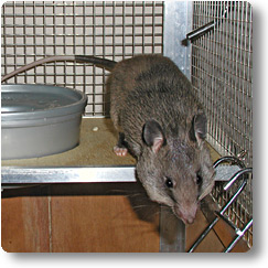 Young pouched rat in cage